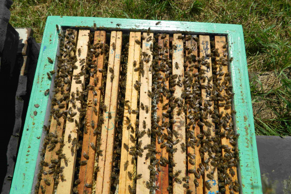 chovné včelstvo s matečníky